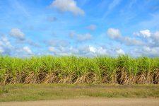 sugar-cane-1928773_1280